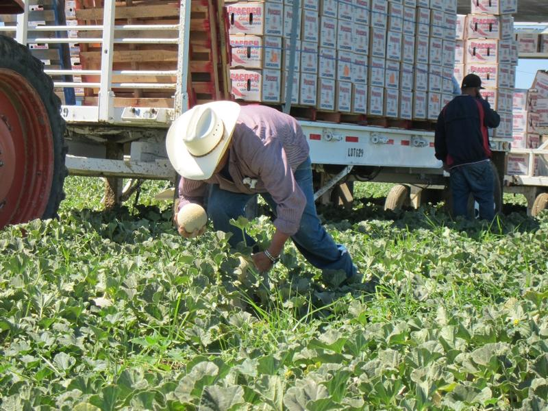 Workers pick cantaloupes from field near Los Banos, CA
