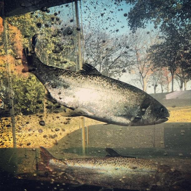 A Chinook salmon swims in a tank at the Salmonfest event at Lost Lake Park in Friant.