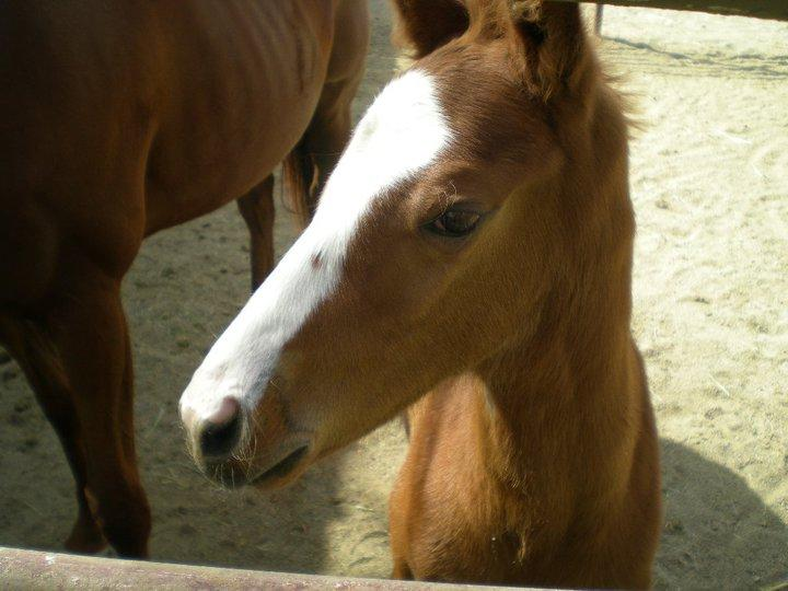 California Chrome as a yearling.