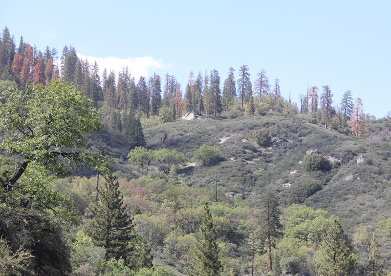 The drought and a beetle infestation have combined to wreak havoc on California's forests, like this one near Kings Canyon National Park east of Fresno.