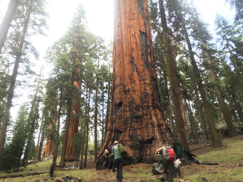Giant Sequoia - file photo
