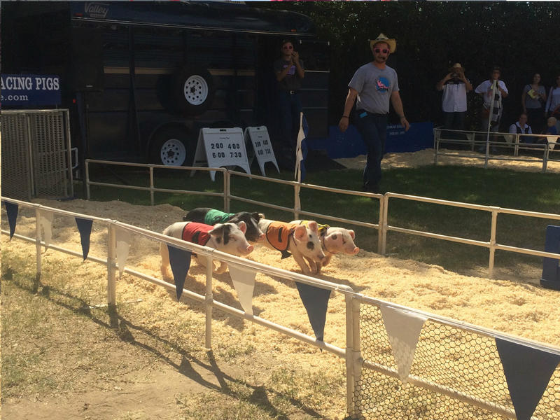 Little pigs are also racing at the Big Fresno Fair.