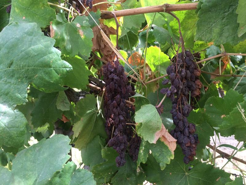 The Raisin Industry is looking to the Sunpreme Raisin to help lower the price of workers to picke the labor intensive crop.