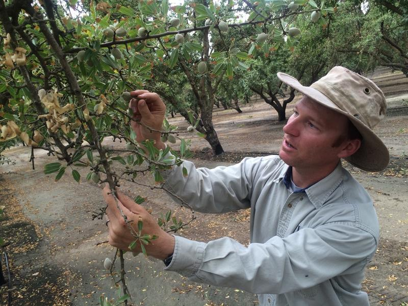 In 2015 there were over 1.8 billion pounds of almonds processed in California. David Doll, with UCANR, is diagnosing trees for salt burn.