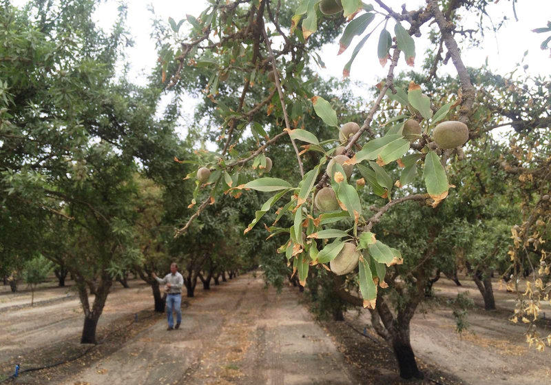 Almond orchards across California are dealing with trees showing signs of the drought.