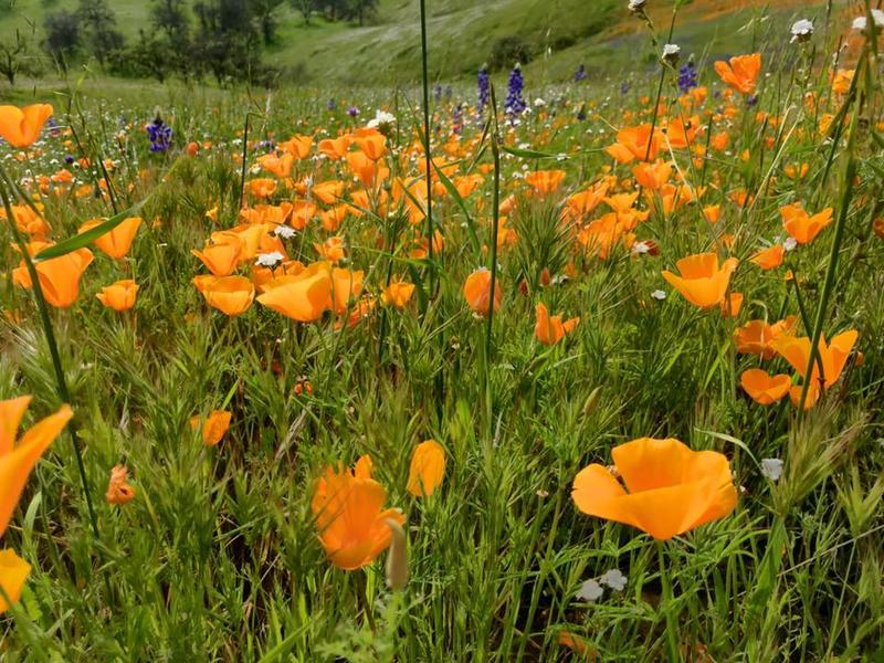 Poppies cover the hills east of Clovis off of Highway 168
