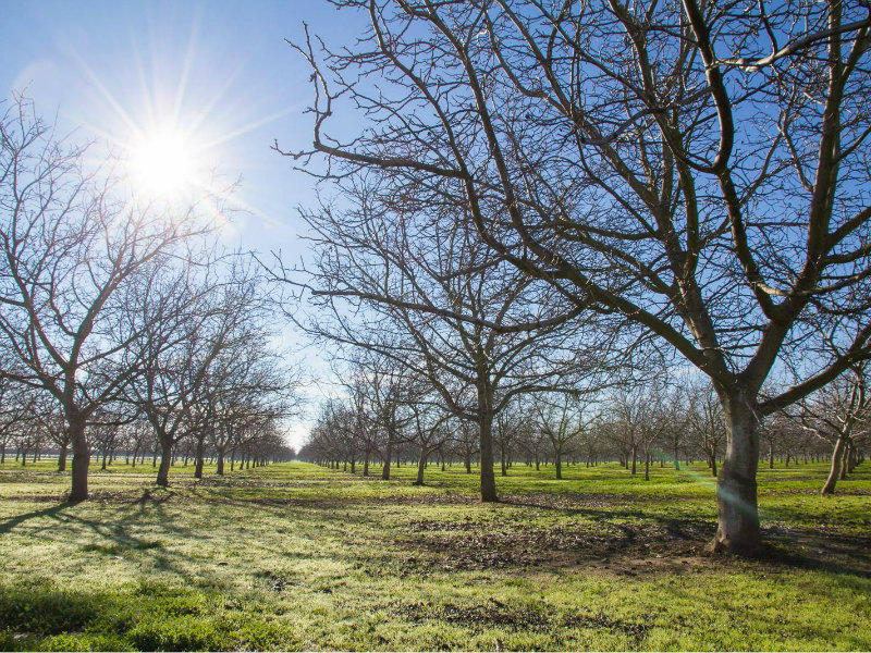 A walnut orchard near Winters, California. If the current trend of warmer winters continues in Yolo County, a UC Davis study says chill hours may be insufficient for many walnut varieties by the year 2100.