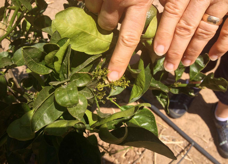 Citrus Psyllid. Stock Photo.