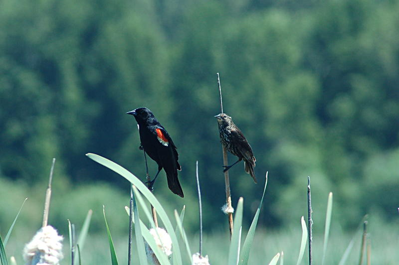 Tricolored Blackbirds at Wood River Wetlands in Klamath, Oregon.