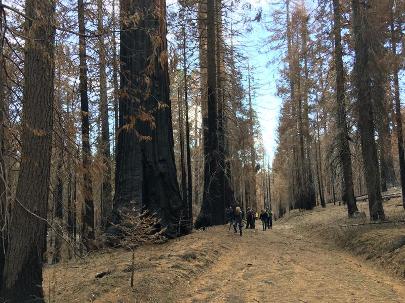 The fire effects within the sequoia groves is mostly positive. Fire plays an important role for giant sequoia regeneration.