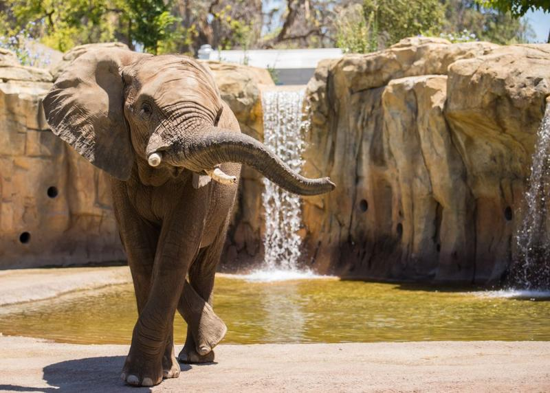 African elephant Musi hangs out in the Fresno Chaffee Zoo's new African Adventure exhibit.