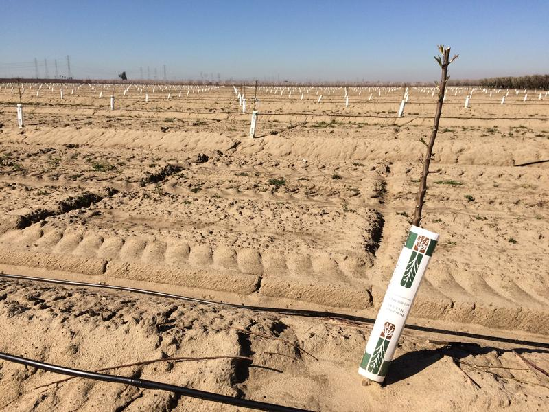 The ground underneath these baby almond trees is bare because of the herbicide paraquat, which research suggests is associated with an increased risk of developing Parkinson's disease.