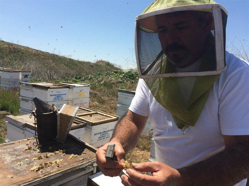 Apiarist Rafael Reynaga checks bee colonies in Tulare County