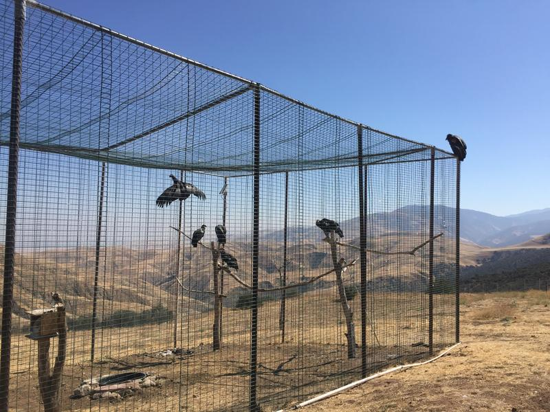 California condors perch inside and on top of the flight pen at Bitter Creek. New arrivals are inside the cage.