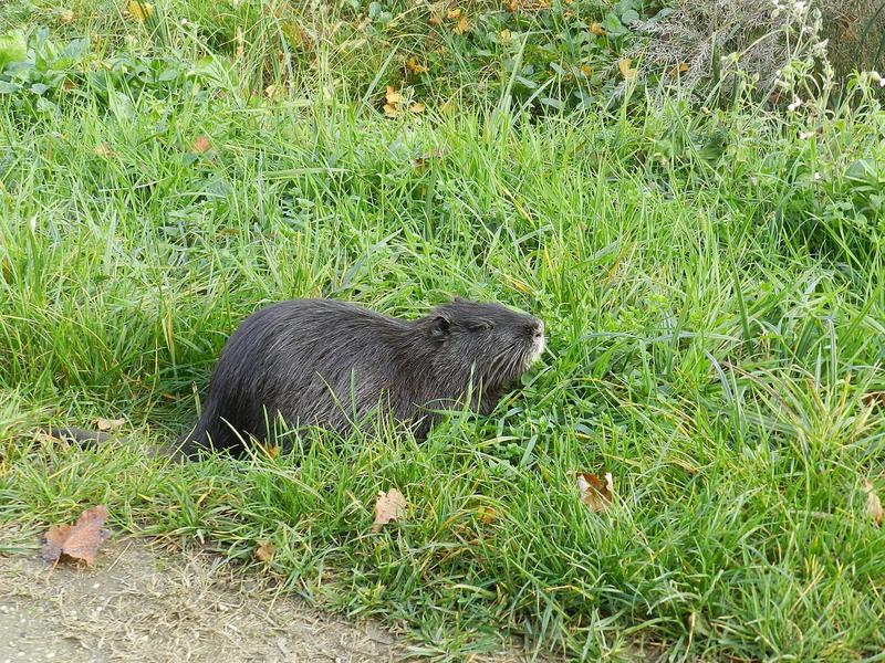 Nutria have recently been discovered in the Merced County area