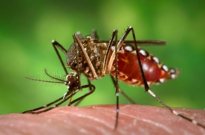 The goal of the Debug Fresno project is to develop a tool that can reduce populations of Aedes aegypti, an invasive mosquito species that can transmit dangerous diseases.