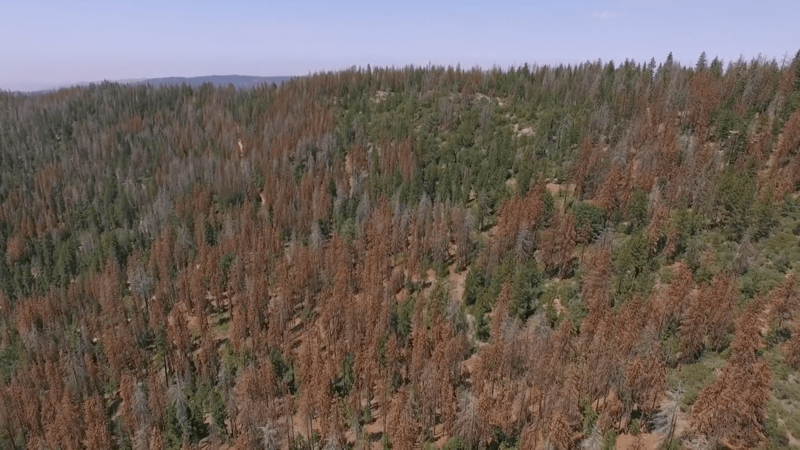 A photo from the Forest Without Trees website shows the scope of tree mortality in the Sierra