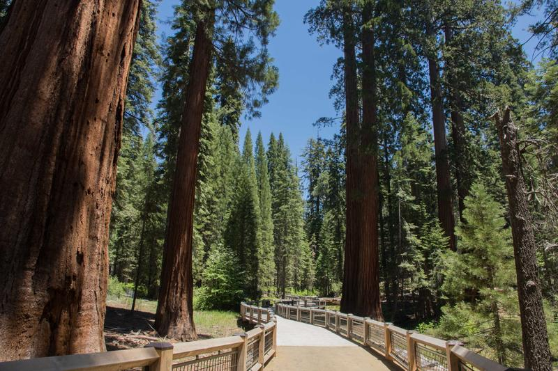 A half-mile, wheelchair-accessible trail winds through Mariposa Grove along what used to be a tram road.