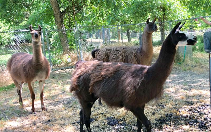 Llamas aren't usually allowed in the Clovis city limits, but a new deal will allow rural homeowners to keep their animals once their land is annexed to the city.