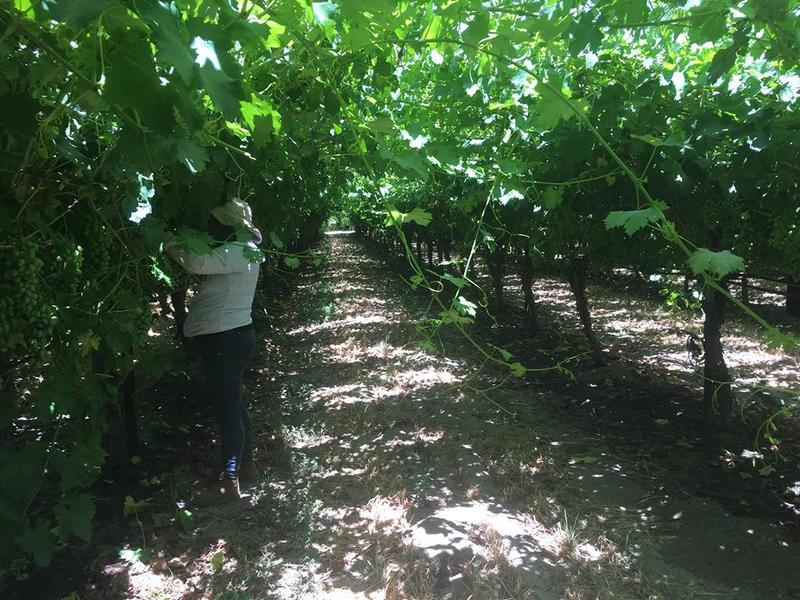 A farmworker on a vineyard in Fresno County.