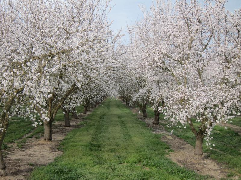 Trees are in full bloom at this Central Valley almond orchard