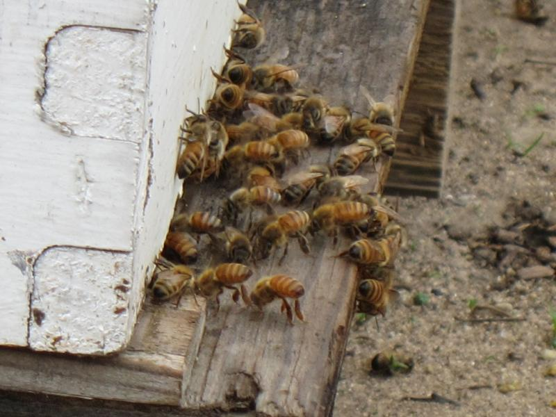 The drought means less food for bees, which could be bad news for crop pollination.