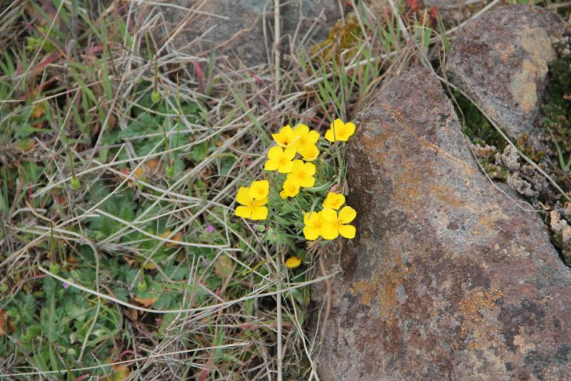 Wildflowers graces the nearly flat volcanic plateau of McKenzie Preserve