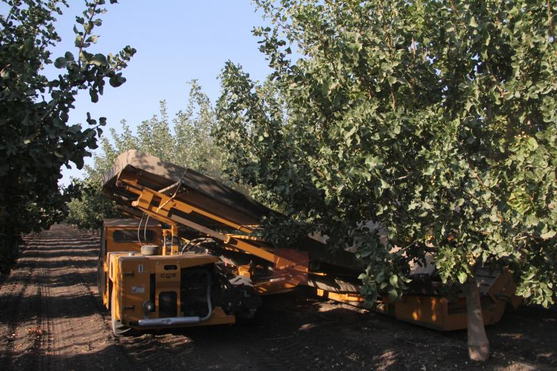 The pistachio harvest is already underway near Tupman, CA in Kern County