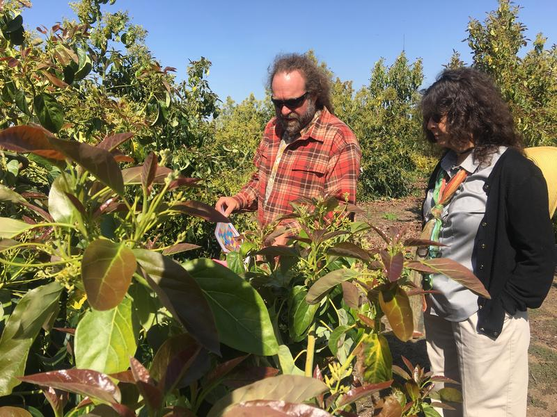 Eric Focht and Mary Lu Arpaia breed avocado trees across California. They're in search of varities that'll grow well in Central California.