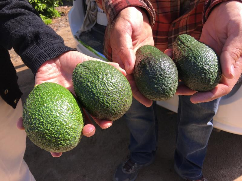 The avocados on the right are the variety Hass and the variety on the left is GEM.