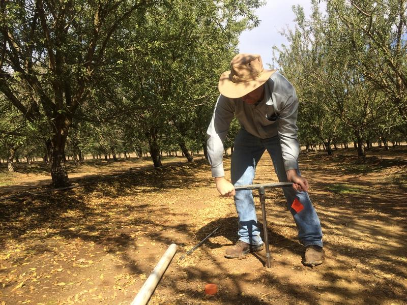 UCANR Farm Advisor David Doll is taking soil samples for a project on cover crops.