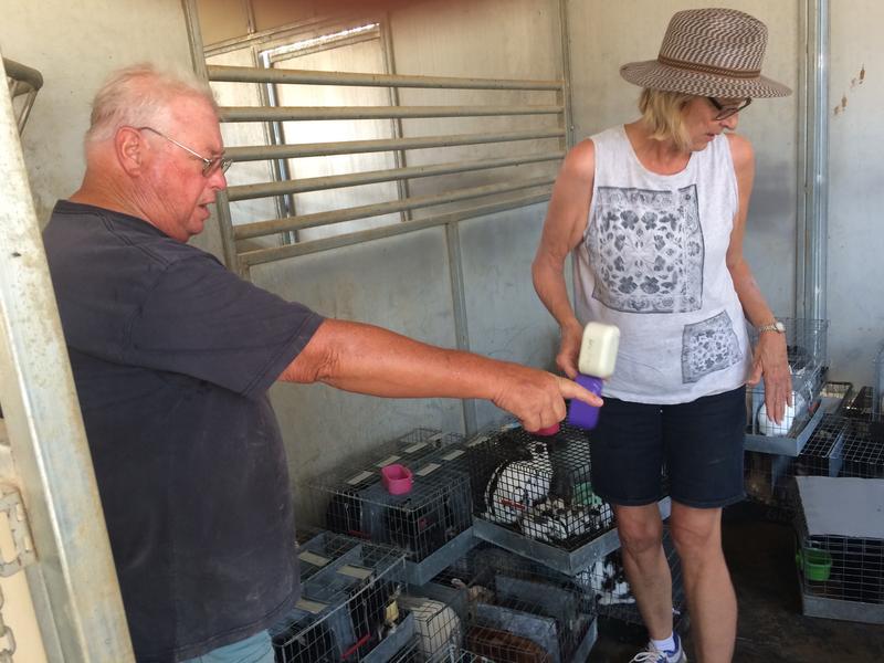 Judy and Rick Mang watering rabbits to keep them cool.