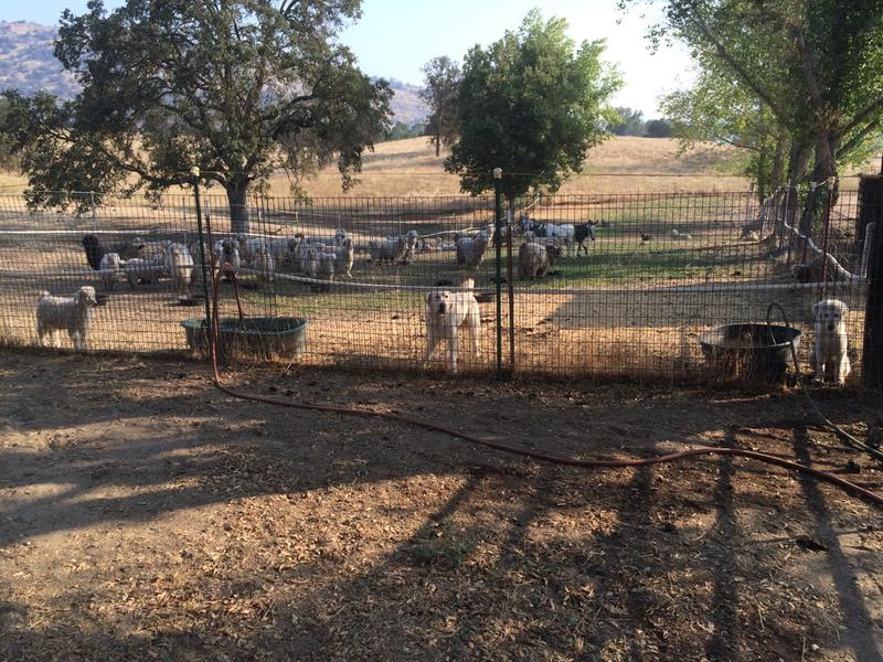 Hundreds of animals were evacuatued, including 120 goats from Allen Messick's farm.