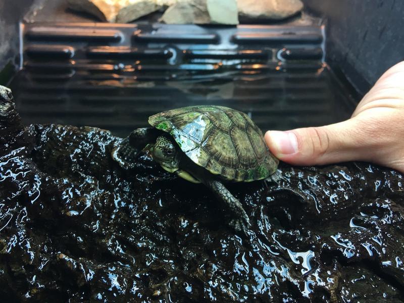 The Fresno Chaffee Zoo has around 30 Western Pond Turtles in their breeding program.