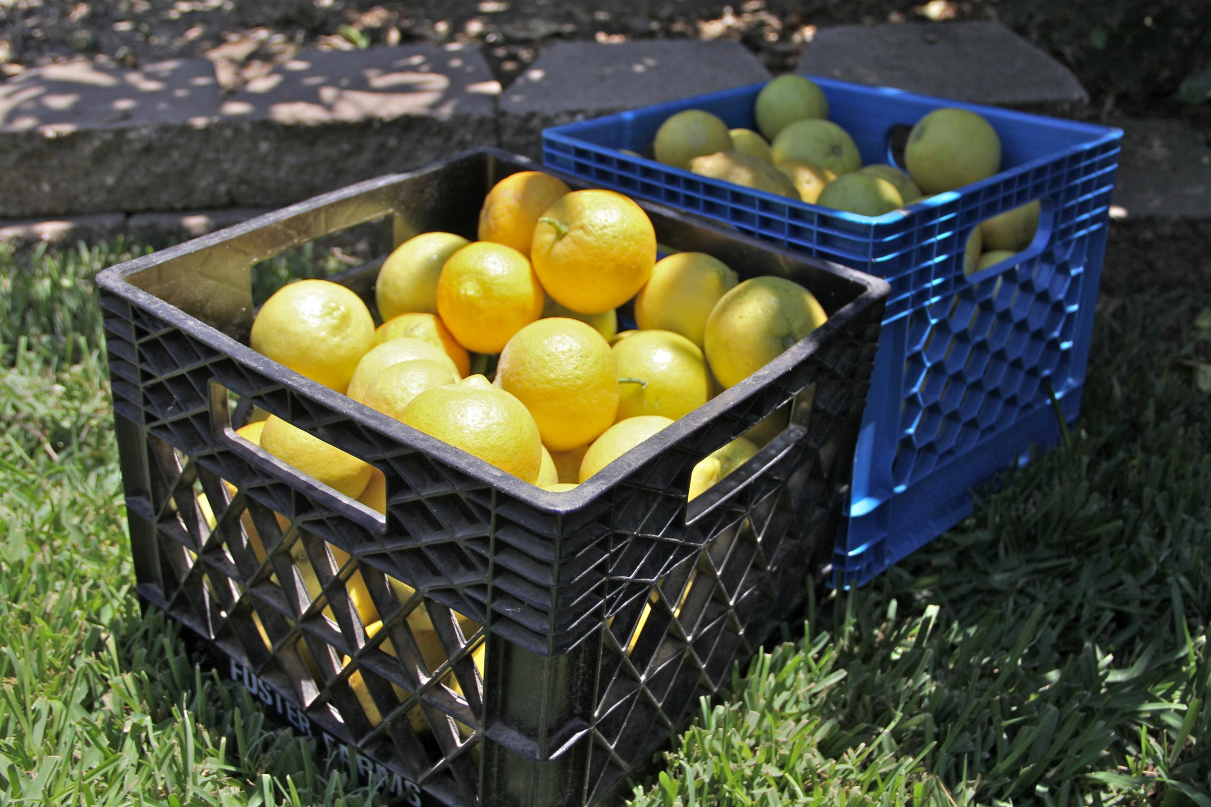backyard citrus harvest helps feed those in need valley public radio