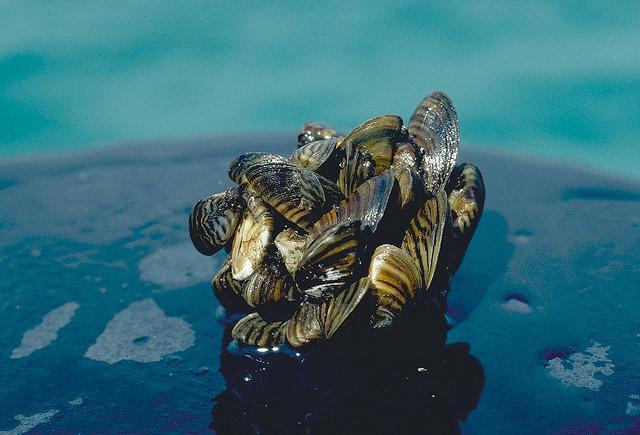 A cluster of zebra mussels.