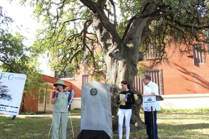 The Texas Historic Tree Coalition also declared the grove of live oaks a historical marker.