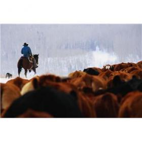 Cowboy herds his cattle in winter