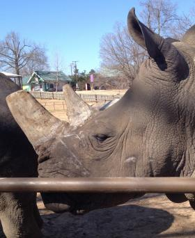 Jeannie is one of the zoo's two white rhinos that will be getting a new home.