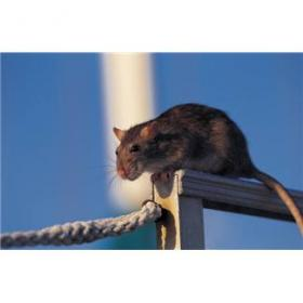 Rats are carriers of hantavirus