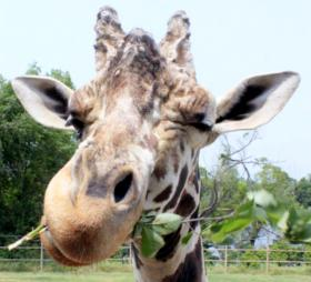 Samburu, the 21-year-old giraffe at the Tulsa Zoo died on Saturday, according to a Zoo news release