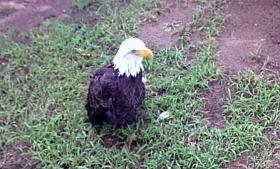 An injured eagle at the Sequoyah State Park rehabilitation facility near Hulbert.