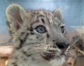 Niko, the Tulsa Zoo's Snow Leopard cub