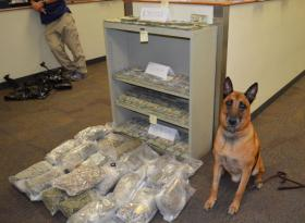 Marijuana seized in bust by police gang unit with Buster the K-9 officer.