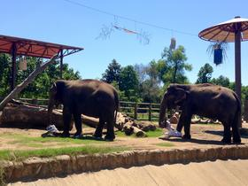 Tulsa Zoo elephants Gunda and Sooky devour a meal their caretakers hid in pouches and hung from cables to help the animals work their trunk muscles.