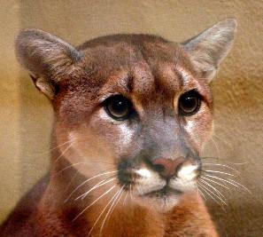 The Tulsa Mountain Lion