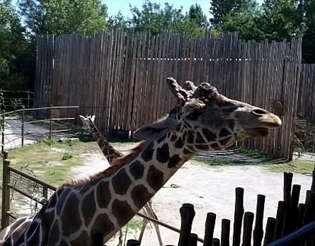 New Giraffes are now on Display
