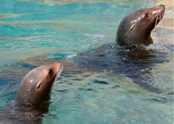Briney and Dorsey the California sea lions