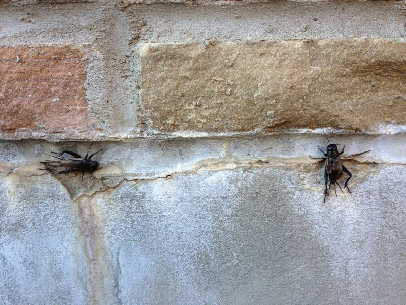 Thousands of crickets, like these two on a wall at the University of Tulsa, have been spotted in swarms in parts of Tulsa, Broken Arrow and Owasso this week.