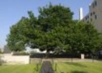 "The ""Survivor's Tree""."